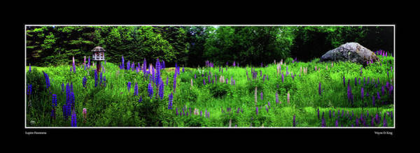 Photograph - Lupine Panorama Poster by Wayne King
