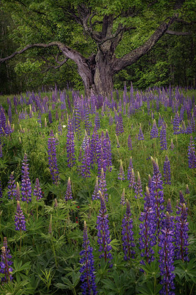 Photograph - Lupine Tree by Darylann Leonard Photography