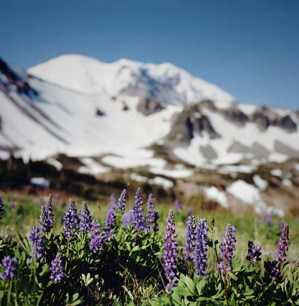 Lupine Wildflowers And Snowy Mountain Art Print