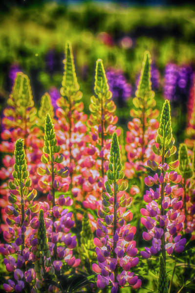 Wall Art - Photograph - Lupines 2 by Veikko Suikkanen