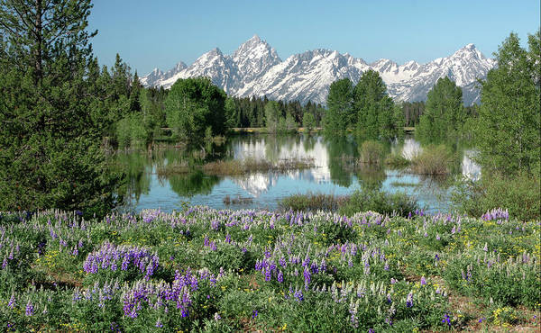 Photograph - Lupines And Tetons by Ronnie and Frances Howard