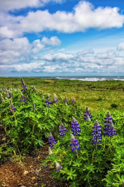 Photograph - Lupines At The Edge Of The Sea by Debra and Dave Vanderlaan