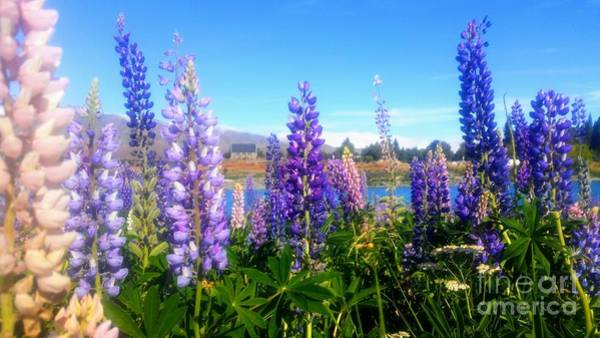 Photograph - Lupins Flower  by Joyce Woodhouse