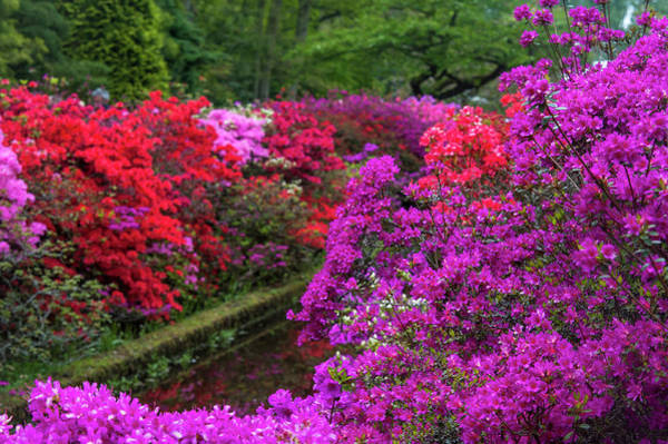 Wall Art - Photograph - Lush Bloom Of Rhododendrons In Keukenhof by Jenny Rainbow