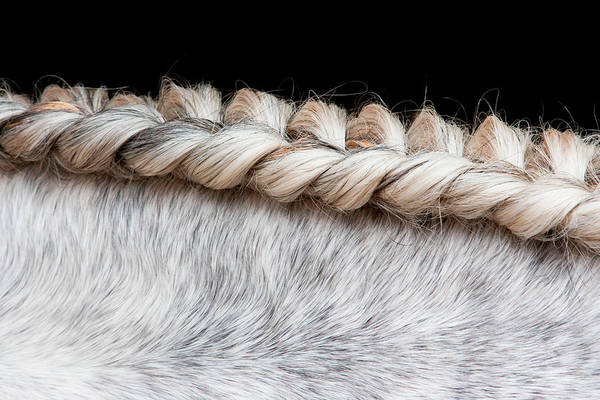 Hairstyle Photograph - Lusitano Horse, Bahia, Brazil by Mint Images - Art Wolfe