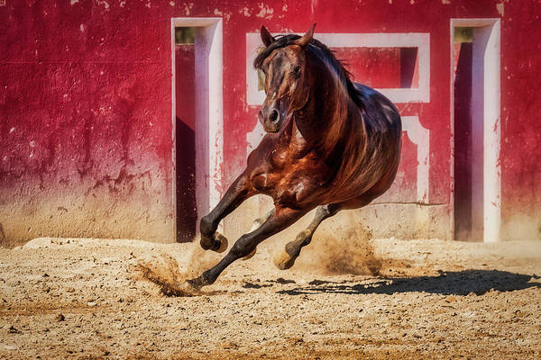 Photograph - Lusitano Stallion - Portugal by Stuart Litoff