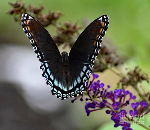 Dwayne Johnson Wall Art - Photograph - Luxurious Red-spotted Purple by Cindy Treger