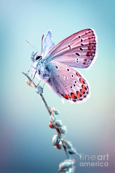 Photograph - Lycaenidae Butterfly by Marco Fischer