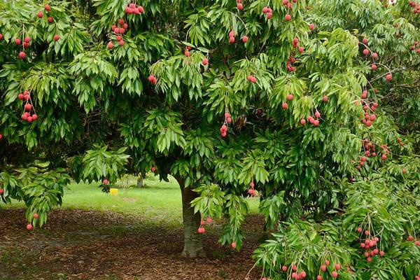 Photograph - Lychee Ripe For Picking by Bradford Martin