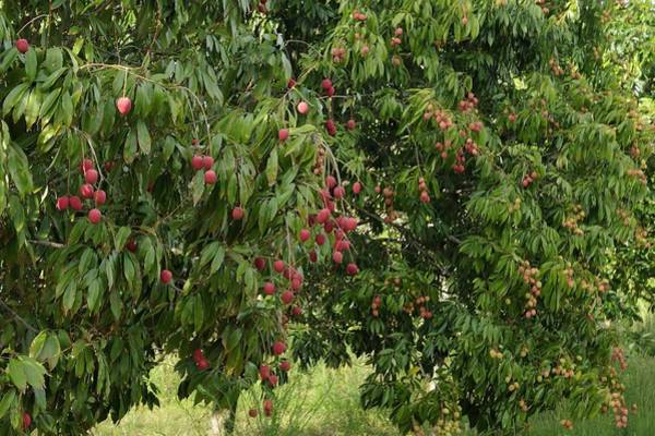 Photograph - Lychee Tree With Fruit by Bradford Martin