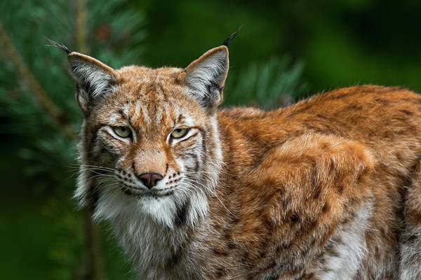 Photograph - Lynx by Arterra Picture Library