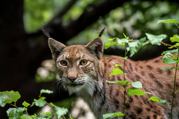 Photograph - Lynx Hunting In Forest by Arterra Picture Library