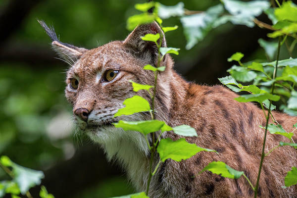 Photograph - Lynx In Forest by Arterra Picture Library