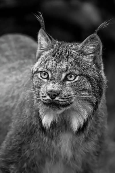 Wall Art - Photograph - Lynx  Lynx Canadensis , Chilkat River by John Hyde