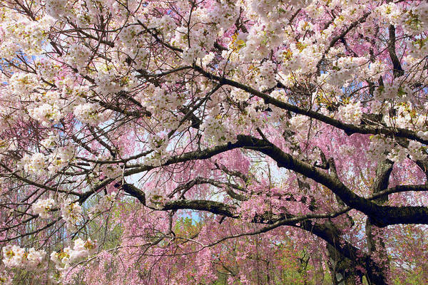 Wall Art - Photograph - Cherry Blossom Cascade by Jessica Jenney