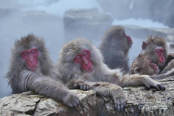 Wall Art - Photograph - Macaques In A Hot Spring At Jigokudani by Masashi Mochida