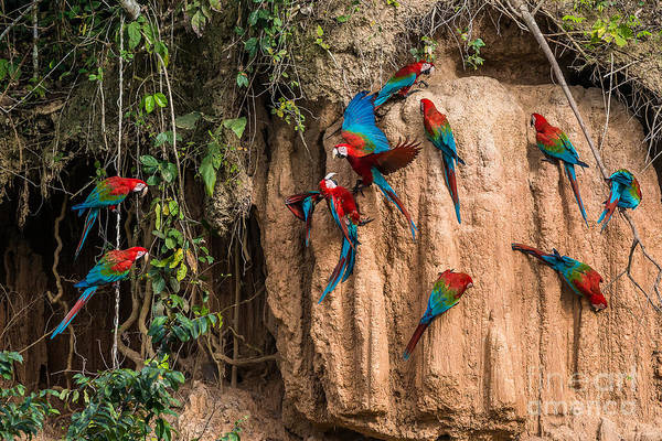 Wall Art - Photograph - Macaws In Clay Lick In The Peruvian by Ostill Is Franck Camhi