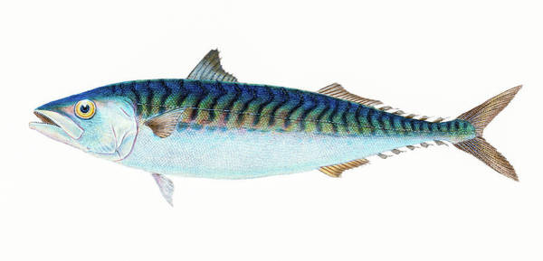 Drawing - Mackerel  by David Letts