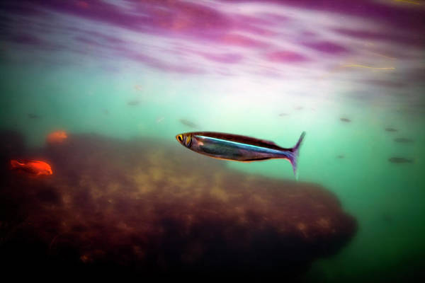 Digital Art - Mackerel In The Cove by Anthony Jones