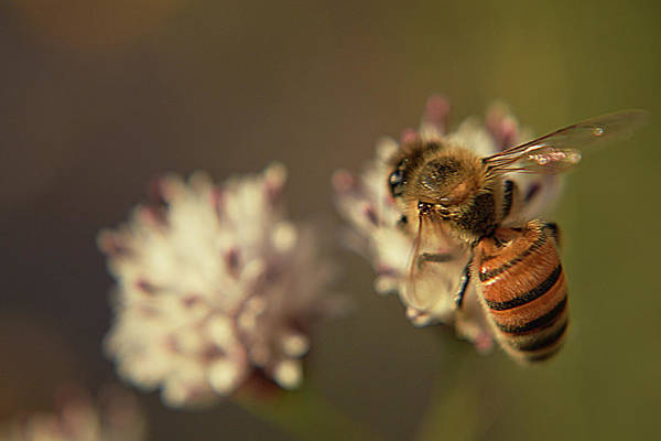 Photograph - Macro Bee by Chance Kafka