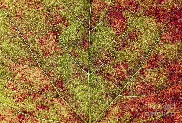Wall Art - Photograph - Macro Detail And Veins Of An Autumn Leaf by Ehrman Photographic