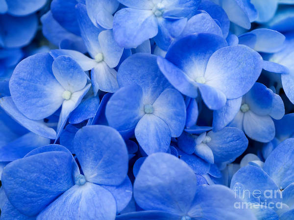 Wall Art - Photograph - Macro Image Of Blue Hydrangea Flower by Noppharat Studio 969