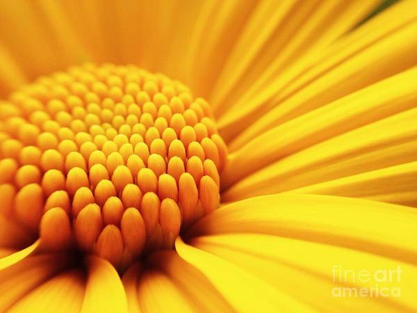 Wall Art - Photograph - Macro Shot Yellow Flower Background by Madcat madlove