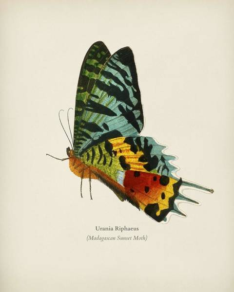 Curl Up Painting - Madagascan Sunset Moth  Urania Riphaeus  Illustrated By Charles Des Salines D' Orbigny  1806-1876 2 by Celestial Images