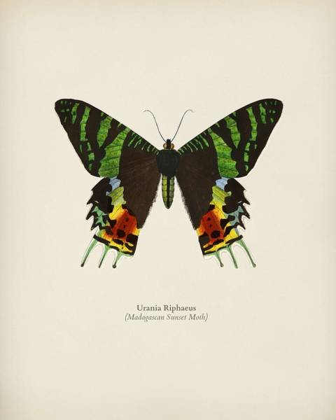 Curl Up Painting - Madagascan Sunset Moth  Urania Riphaeus Illustrated By Charles Dessalines D' Orbigny  1806-1876 3 by Celestial Images