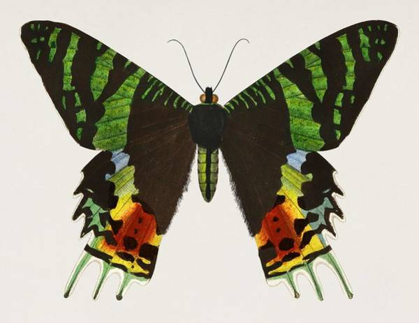 Curl Up Painting - Madagascan Sunset Moth  Urania Riphaeus Illustrated By Charles Dessalines D' Orbigny  1806-1876  by Celestial Images
