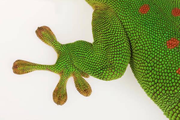Gecko Wall Art - Photograph - Madagascar Day Gecko Against White by Martin Harvey