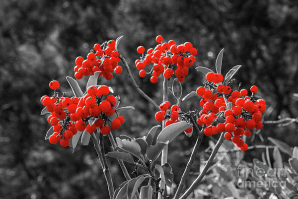 Photograph - Madrone Berries 4 by Bob Phillips