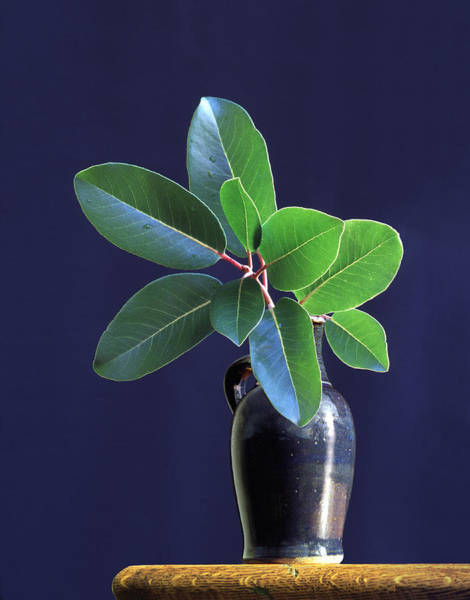 Decoration Photograph - Madrone Tree Leaves In Vase On Table by Diane Miller