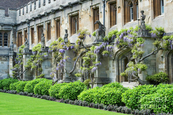 Photograph - Magdalen College Quadrangle Wisteria by Tim Gainey