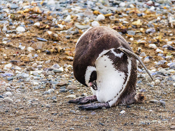 Photograph - Magellan Penguin On The Isla Magdalena, Chile by Lyl Dil Creations