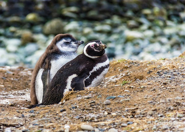 Photograph - Magellan Penguins On The Isla Magdalena, Chile by Lyl Dil Creations
