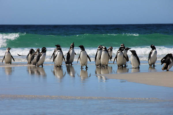 Wall Art - Photograph - Magellanic Penguins by Tom Norring