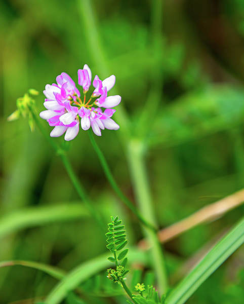 Photograph - Magenta And White Wild Flower by Reynaldo Williams