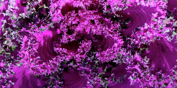 Photograph - Magenta Cabbage by Mark Shoolery