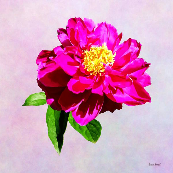 Photograph - Magenta Peony In Sunshine by Susan Savad