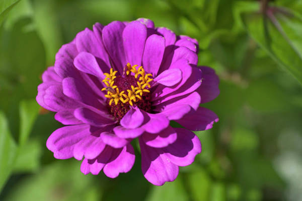 Photograph - Magenta Purple Zinnia Elegance by Jenny Rainbow