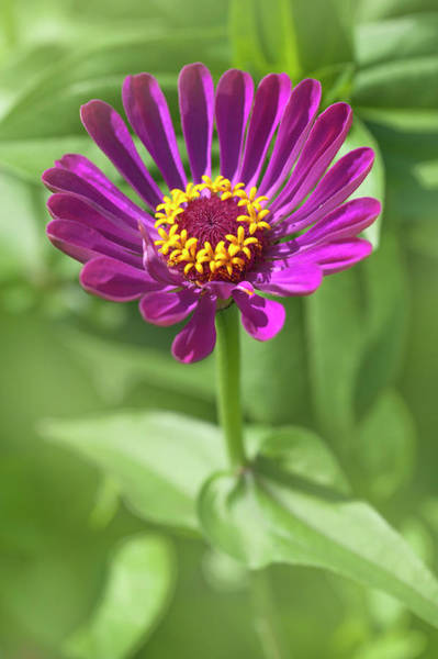 Photograph - Magenta Purple Zinnia Elegans by Jenny Rainbow