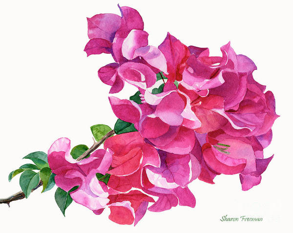 Wall Art - Painting - Magenta Red Violet Bougainvillea On White by Sharon Freeman