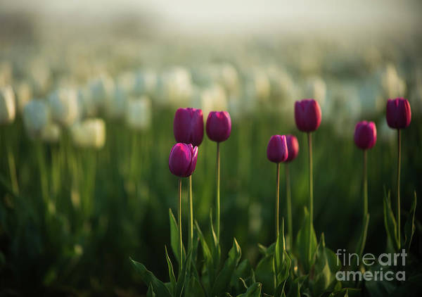 Wall Art - Photograph - Magenta Tulips In Soft Light by Mike Reid