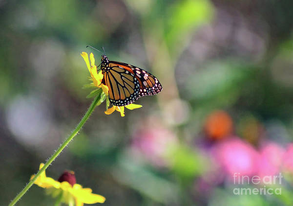 Photograph - Magical Monarch by Karen Adams