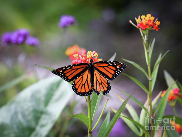 Photograph - Magical Wings - Monarch Butterfly by Kerri Farley