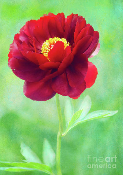 Photograph - Magnificent Crimson Peony by Anita Pollak