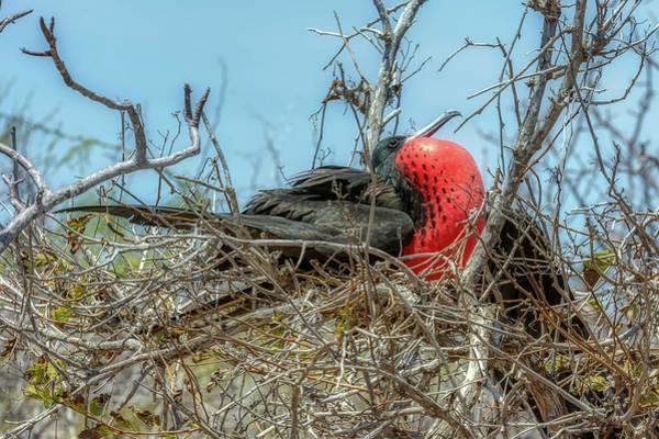 North Seymour Island Photograph - Magnificent Frigate Bird by Donald Lanham