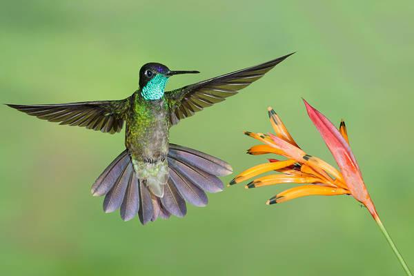 Wall Art - Photograph - Magnificent Hummingbird Eugenes Fulgens by James Zipp