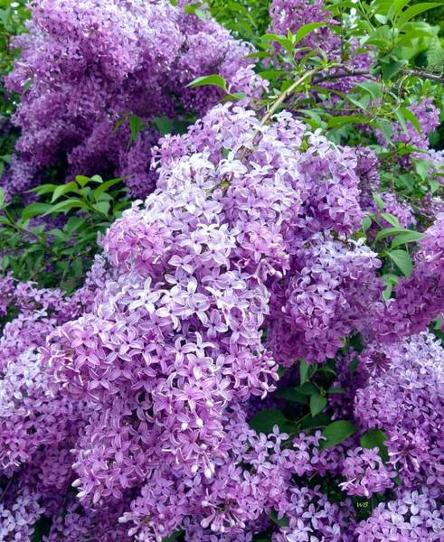 Photograph - Magnificent Lilacs by Will Borden